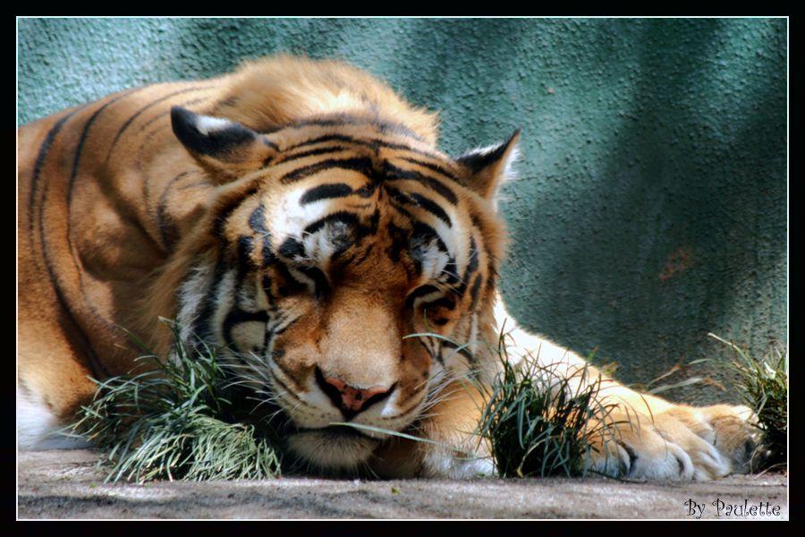 Tigre Gifs Animado: Tigre Gif Fonds Ecrans