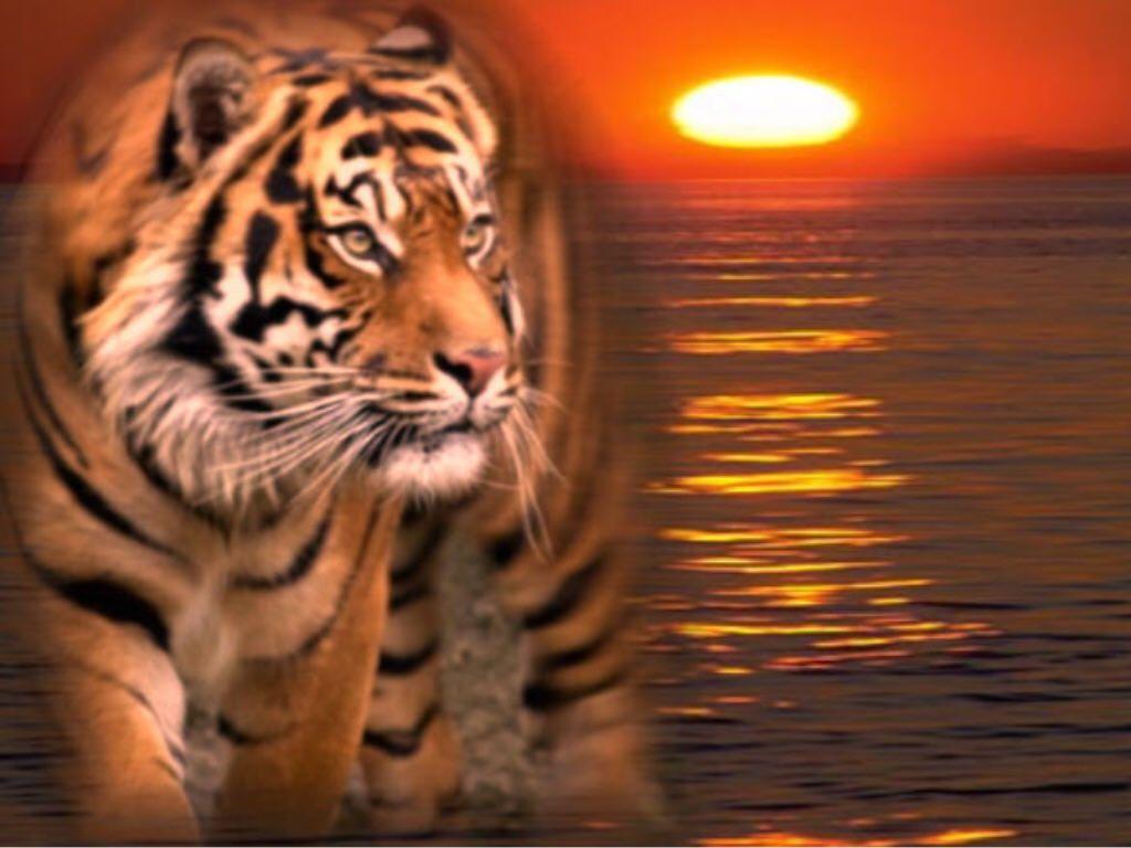 tigre gif fonds ecrans